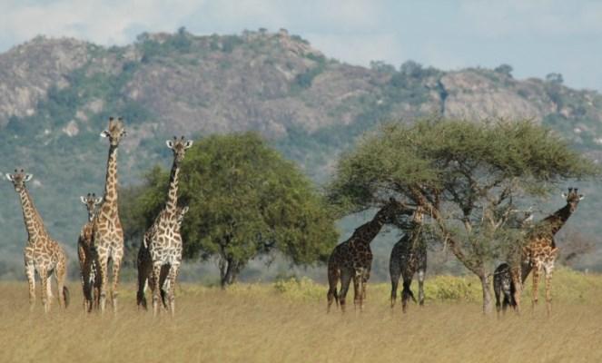offsetting safari emissions - Carbon Tanzania