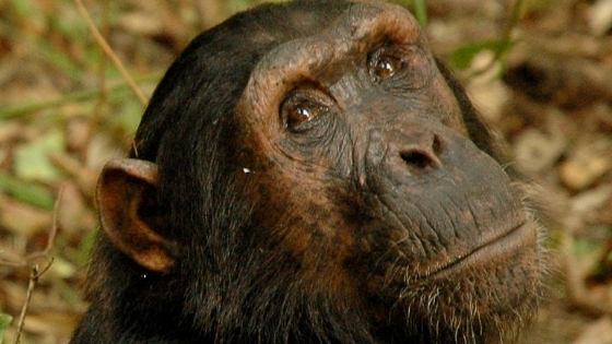 protecting forests for chimps and people - Carbon Tanzania