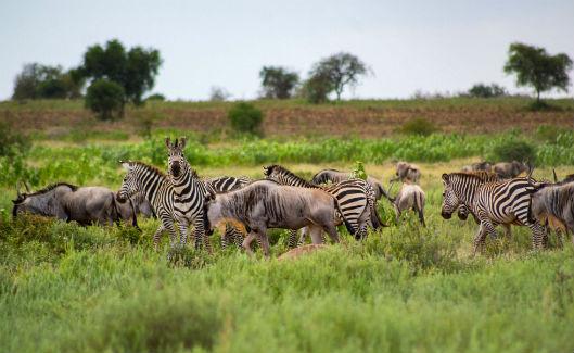 Zebra_image_resized