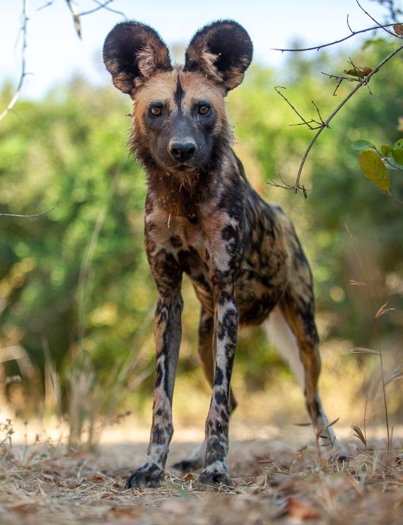 Endangered species - Wild Dog Makame - Carbon Tanzania