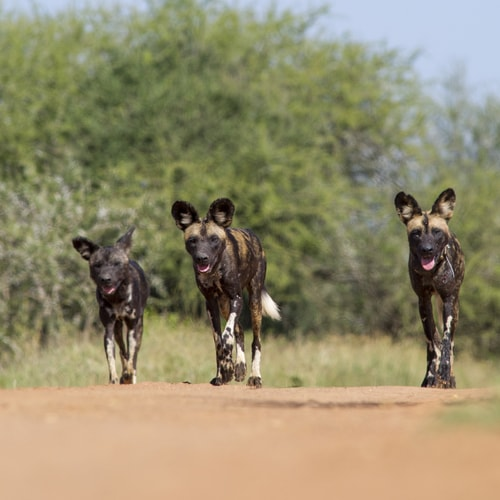 3 wild dogs trotting along a track in Makame Savannah Project Area