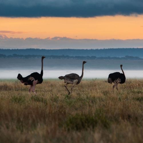 Makame_Wildilfe_Ostrich